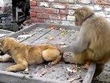 Monkey VS Dog fighting -real fun