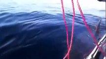 Plusieurs requins vues en ALGERIE - ORAN BOUMERDES TLEMCEN