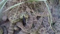 Une GoPro tombe dans un nid de serpents à sonnette! Flippant...