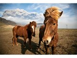 Picture idea of horses and horse breeds   Icelandic Horse