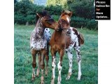 Picture collection of horses | Appaloosa Horse