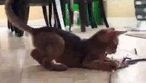 FUNY CLIP  Abyssinian Kitten Fun! - Video Dailymotion