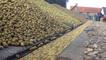 Les pommes partent vers des cidreries