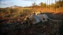 leona vs leona (pelea por la comida)