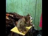 Cat Demands Petting