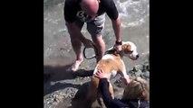 Pit Bull Attack and Kill Sea Lion – Dog Attacks | Animal Attacks
