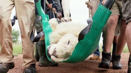 Un zoologiste soigne un lion blanc et le remet en liberté, mais il ne s'attendait pas à ça !
