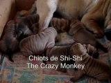 Chiots shishi-14 jours