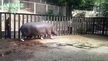 Hippo joue avec le gardien dans le zoo de Tbilissi. drôle hippopotame