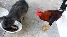 ► Pelea entre Gato y Gallo - INEDITO - humor gatos - video divertido gatos - risa gatos chistosos