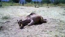 Camel - vaisseau du désert. Drôle chameau baigne dans le sable