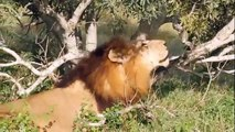 Animal attack lions Mapogo still roars with pride wild NEW@croos