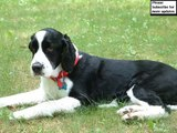 Set of English Springer Spaniel dog breed picture collection   English Springer Spaniel Dogs