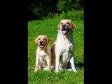 dog breed Labrador Retriever picture collection ideas   Labrador Retriever Dogs