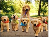 dog breed Golden Retriever picture collection ideas | Golden Retriever Dogs