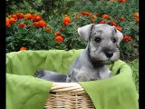 dog breed Miniature Schnauzer picture collection ideas | Miniature Schnauzer Dogs