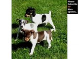 Puppy Terrier - Cute and lovely dog pics collection | Rat Terrier puppy