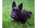 Puppy Terrier - Cute and lovely dog pics collection | Scottish Terrier puppy