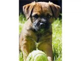Cute Terrier breed Collection of dog pictures | Border Terrier puppy
