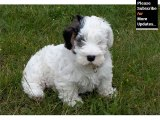Puppy Terrier - Cute and lovely dog pics collection | Sealyham Terrier puppy