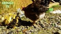 Les canetons mignons adoptée par un Hen Sucré Vidéos animaux