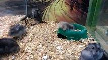 Ce hamster est complètement fou... Backflips ratés