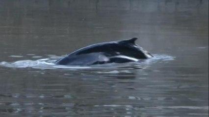 Encuentran a una ballena perdida en los diques de Puerto Madero