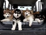 Malamute puppies struggling to comprehend music.. Omg this is amazing