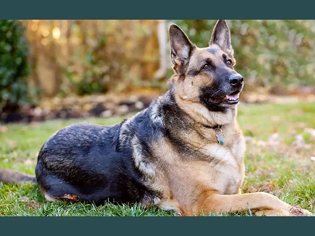 German Shepherd Dogs | dog breed German Shepherd picture collection ideas