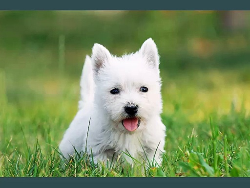 West Highland White Terrier Dogs | dog breed West Highland White Terrier set of cute pictures