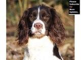 English Springer Spaniel Dog Breed   Dog type English Springer Spaniel breed set of picture ideas