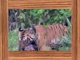 tiger attack    tiger attack wild boar    tiger vs boar    tiger vs wild boar    HD