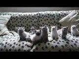 ★ EL BAILE DE LOS GATITOS (SIN TRUCOS) ★ Video Gatos Locos - Humor Gatos - Gatos Divertidos