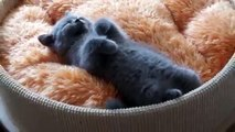 El Gatito Mas Tierno Durmiendo! ★ Gato divertido gato chistoso gato tierno loco risa humor