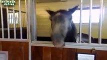 ᴴ ᴰChevaux Bouche péter Drôle Faire drôles bruits de bouche de chevaux