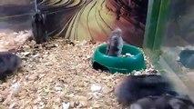 Un hamster s'amuse en enchaînant les saltos arrières