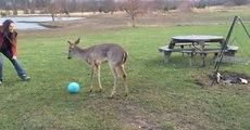 Un bébé cerf essaye de jouer au ballon !