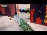 Animaux amusants vs Miroirs Drôle Compilations animaux 2015