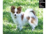 Papillon Dog Breed | collcetion of pictures of breed Papillon dogs