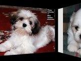 Shih Tzu Dog Breed | Cute dog picture collection of breed Shih Tzu