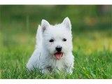 West Highland White Terrier Dog Breed | Dog picture ideas of breed West Highland White Terrier dog