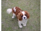 Charles Spaniel Dog Breed Dog type Charles Spaniel breed set of picture ideas
