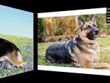 German Shepherd Dog Breed | Cute dog picture collection of breed German Shepherd pictures