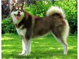 Alaskan Malamute Dog Breed | Dog picture ideas of breed Alaskan Malamute dog