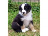 Australian Shepherd Dog Breed | dog breed Australian Shepherd lovely pics collection