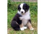 Australian Shepherd Dog Breed | dog breed Australian Shepherd lovely pics collection