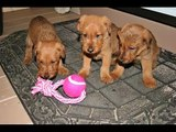dog Irish Terrier puppy | Picture Ideas of Terrier Dog Breed and puppies