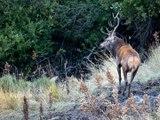 La souille du cerf - Brame du cerf dans les Pyrénées Orientales 2015