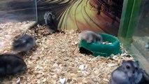 Un hamster russe fait des saltos arrières