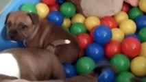43ème  vidéo La 22ème portée de STAFFORDLAND joue dans le bac à boules